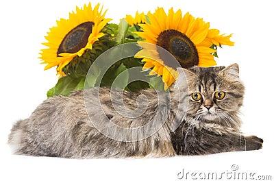 Persische Katze, die mit Sonnenblumen liegt