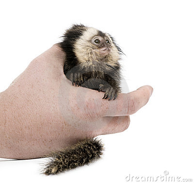 Person holding White-headed Marmoset