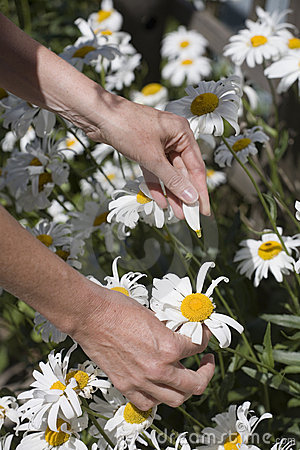Person picking daisy flowers