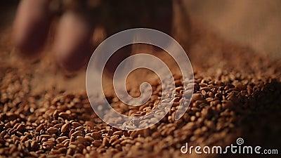 Persoon die van aanraking die van tarwezaden genieten, korrel met de hand plukken zorgvuldig, landbouw stock videobeelden