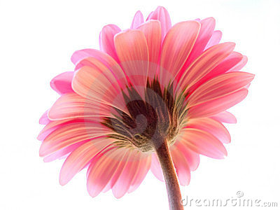 A perspective shot of a pink gerbera
