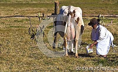 Peru cow milking Editorial Photo