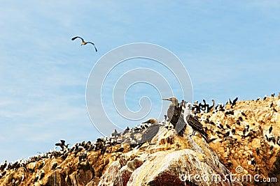 Peru, wildlife on Islas Ballestas near Paracas