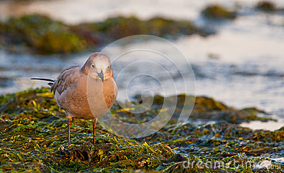 Peruvian Grey Gull on seaweed