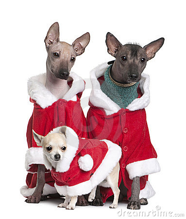 Peruvian Hairless Dogs and a puppy Chihuahua