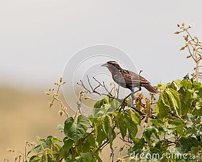 Peruvian Meadow Lark on bush