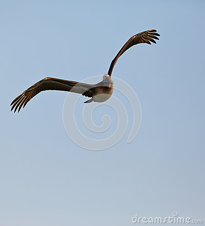 Peruvian Pelican in flight