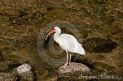 Pesca blanca del pájaro de Ibis en un río