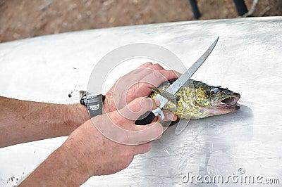 Pescador que corta un pescado de los leucomas