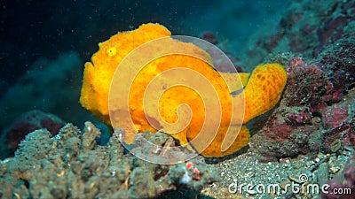 Pescados amarillos de la rana almacen de video