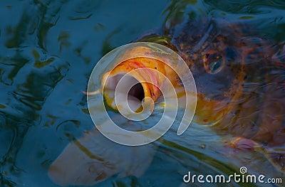 Pescados de Koi