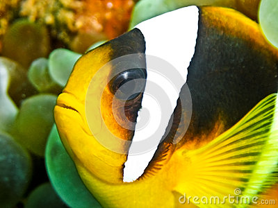 Pescados del payaso