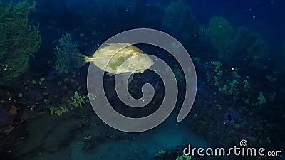 Pescados del ` s de Peter, pez de san Pedro de Juan, natación de los pescados de Faber del zeus en el azul profundo metrajes