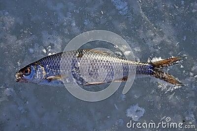 Pescados fríos