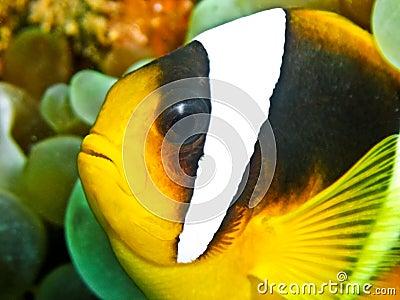 Pesce del pagliaccio