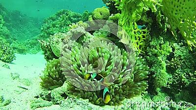 Pesce tropicale di Anemonefish Beautiful Colorful del pagliaccio sul mare vibrante di Coral Reefs Underwater in rosso Egypt video d archivio