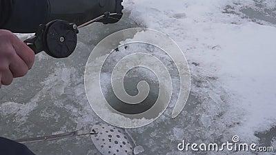 Pesce vivo pescato che si trova sul lago del ghiaccio che prende fine di pesca di inverno stock footage