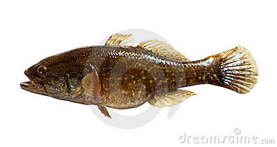 Pesci d acqua dolce predatori