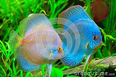 Pesci del discus fotografia stock libera da diritti for Pesce discus