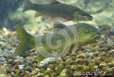 Pesci del fiume fotografia stock immagine 2766162 for Pesci di fiume