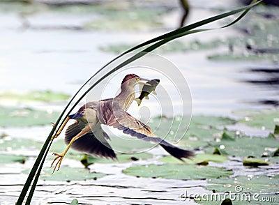 Pesci gialli della cattura di Jian della coda