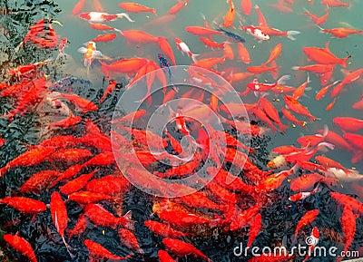 Pesci rossi dell 39 acquario in lago immagine stock libera da for Pesci rossi acquario