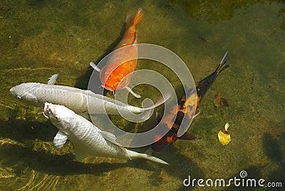 Koi fish in stagno immagine stock libera da diritti for Pesci da stagno