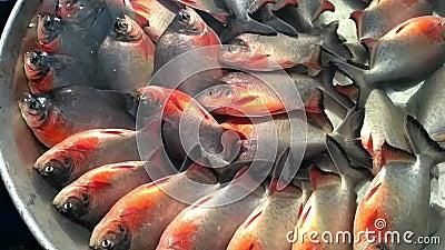 Pesci, tanti pesci in una vasca piena d'acqua video d archivio
