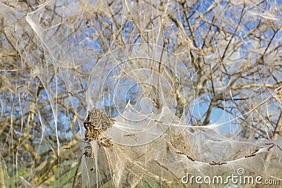 Pest caterpillars wrap whole bush