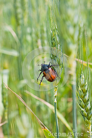 Pest of cereal crops