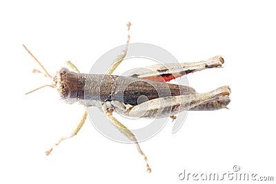 Pest insect  locust