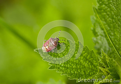 Pest shield bug