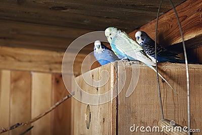 Pet budgerigars in aviary