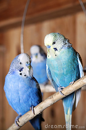 Pet budgerigars in aviary