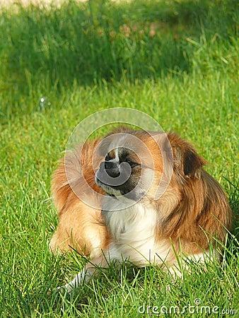 A pet dog