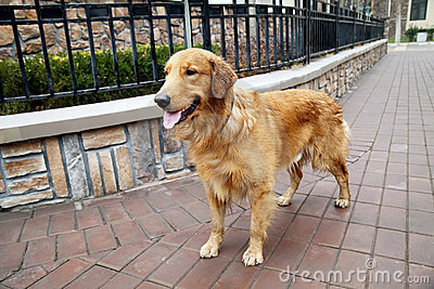 Pet dog in the residential area