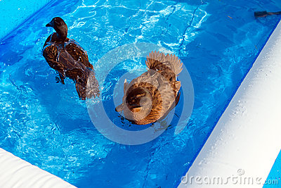 Pet ducks in a child s pool