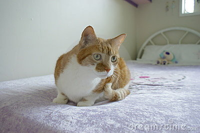Pet ginger tabby cat