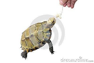 Pet turtle feeding