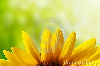 Petal of sunflower