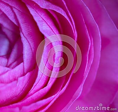 Petals of a rose in macro