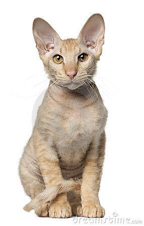 Peterbald cat, in front of white background