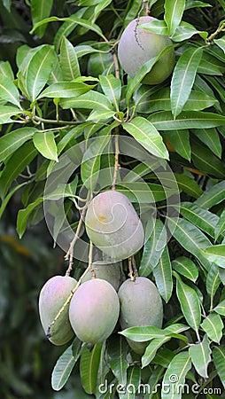 Petigre mango
