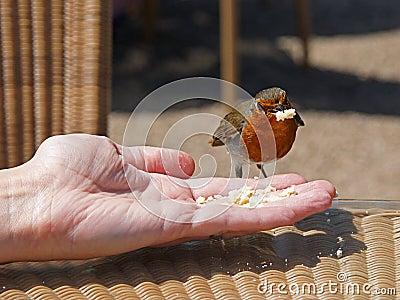 Petirrojo que alimenta a mano