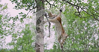 Petit animal de chat de lynx de Playfull grimpant vers le bas à un arbre dans la forêt banque de vidéos