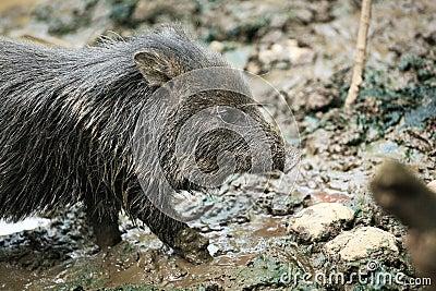 petit animal sauvage mignon de porc dans la boue photographie stock libre de droits image. Black Bedroom Furniture Sets. Home Design Ideas