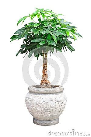 petit arbre d coratif asiatique d 39 isolement photographie stock image 20130372. Black Bedroom Furniture Sets. Home Design Ideas
