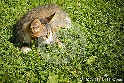 petit chat jouant dans l 39 herbe photo stock image 86114470. Black Bedroom Furniture Sets. Home Design Ideas