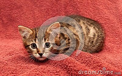 Résultats de recherche d'images pour «chaton brun tigré»