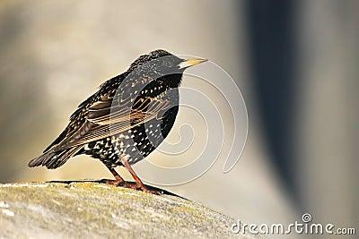 Petit oiseau commun de starling photographie stock image for Oiseau commun